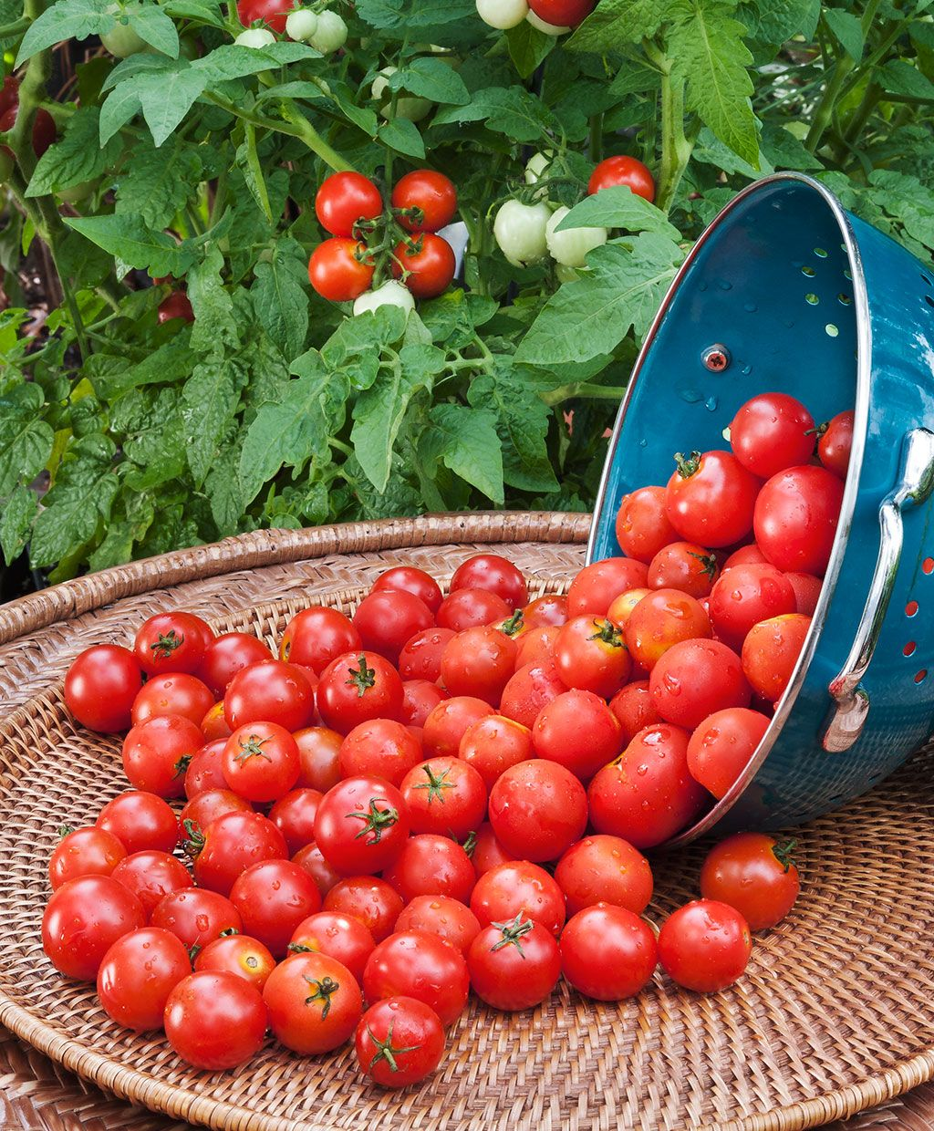 Husky Cherry Red Tomato A Best Seller Is Favored For Its 400 x 300