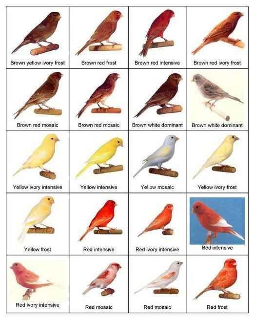 Tipos de Canarios aves Color criado canarios  Aves