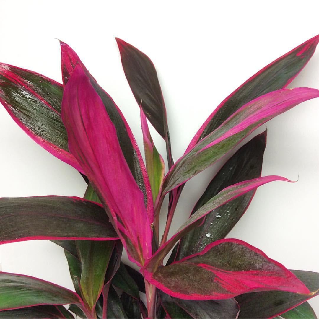 Best Kitchen Gallery: Hawaiian Ti Cordyline Terminalis Stunning Foliage Botanica of Tropical House Plant Cordyline on rachelxblog.com