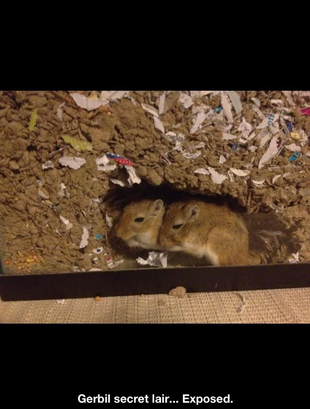 Pin By Ddnielle On Smdll ғuzzps Pet Rodents Gerbil Small Pets