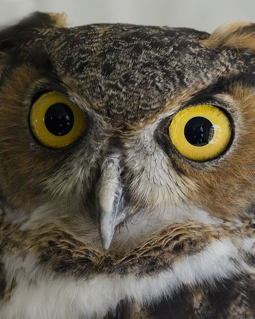 Source: Flickr / bluecollar #great horned owl