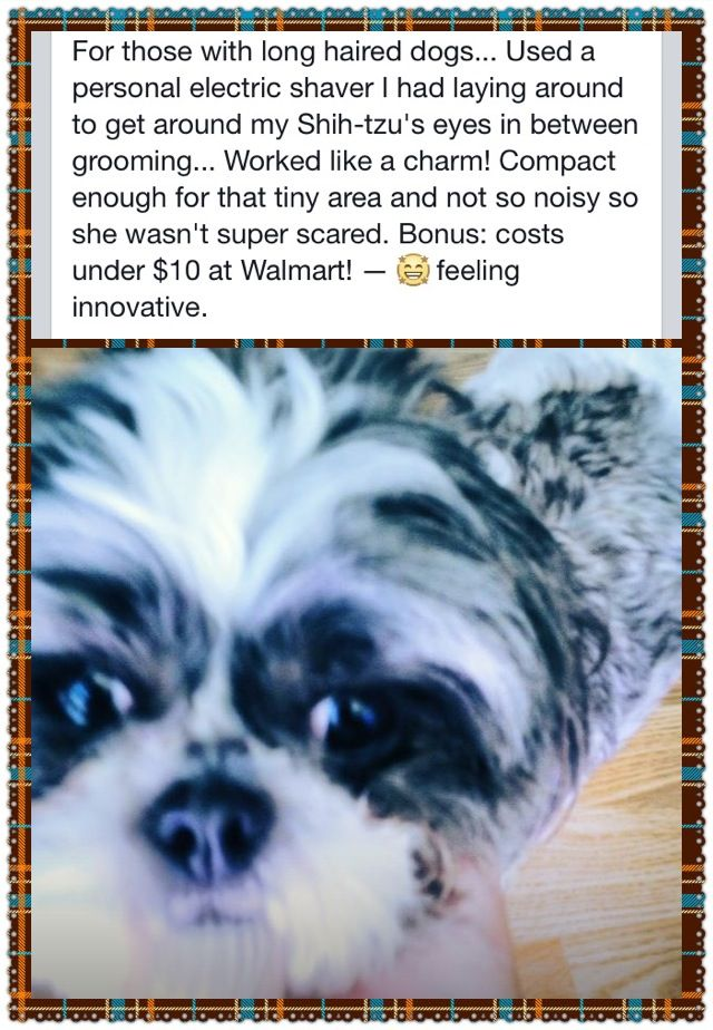 Trimming Around Your Shih Tzu S Eyes Between Grooming Visits Shih Tzus Long Haired Dogs The Perfect Dog