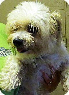 Petey Pets Pet Adoption Shih Tzu