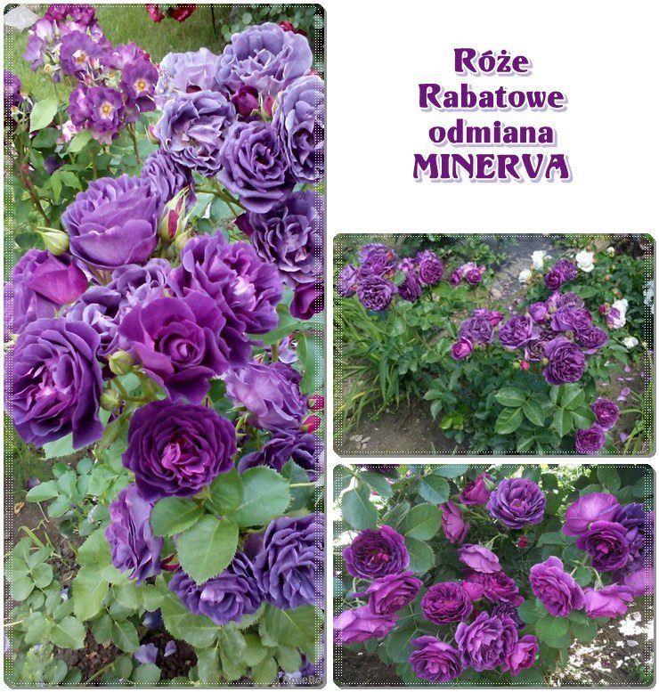 Minerva Niebieskie Roze Rabatowe Minerva Garden Flowers