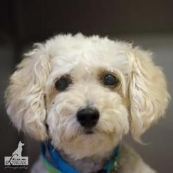 Blanco Is An Adoptable Poodle Dog In Carrollton Tx 5 8 2013 Meet
