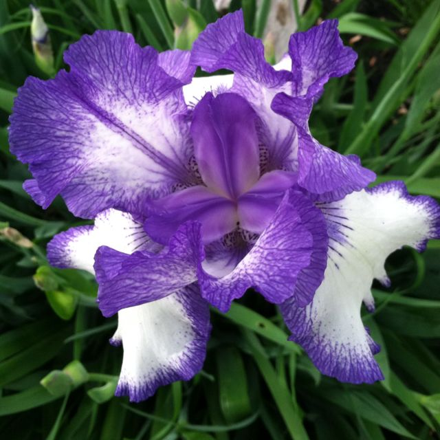 Iris It Actually Smells Like Licorice Plants Licorice Iris