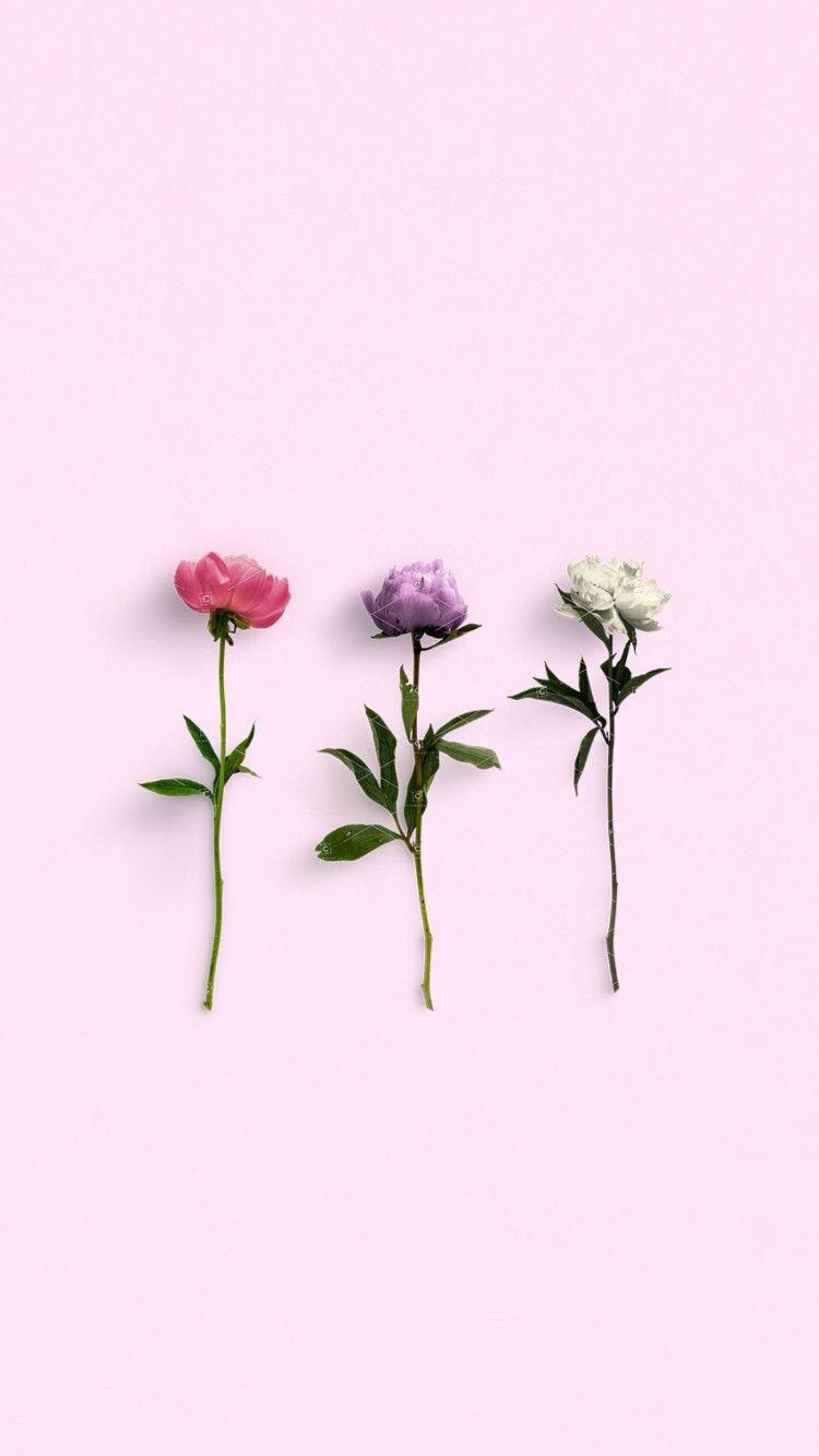 Flower Flowering Plant Pink Plant Petal Botany Peony Wallpaper Flower Wallpaper Pastel Wallpaper