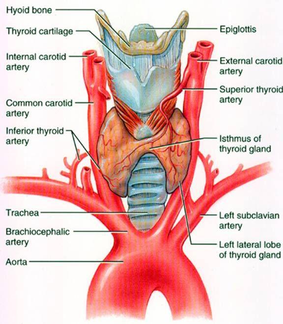 Largest Endocrine Gland Images Human Anatomy Organs Diagram