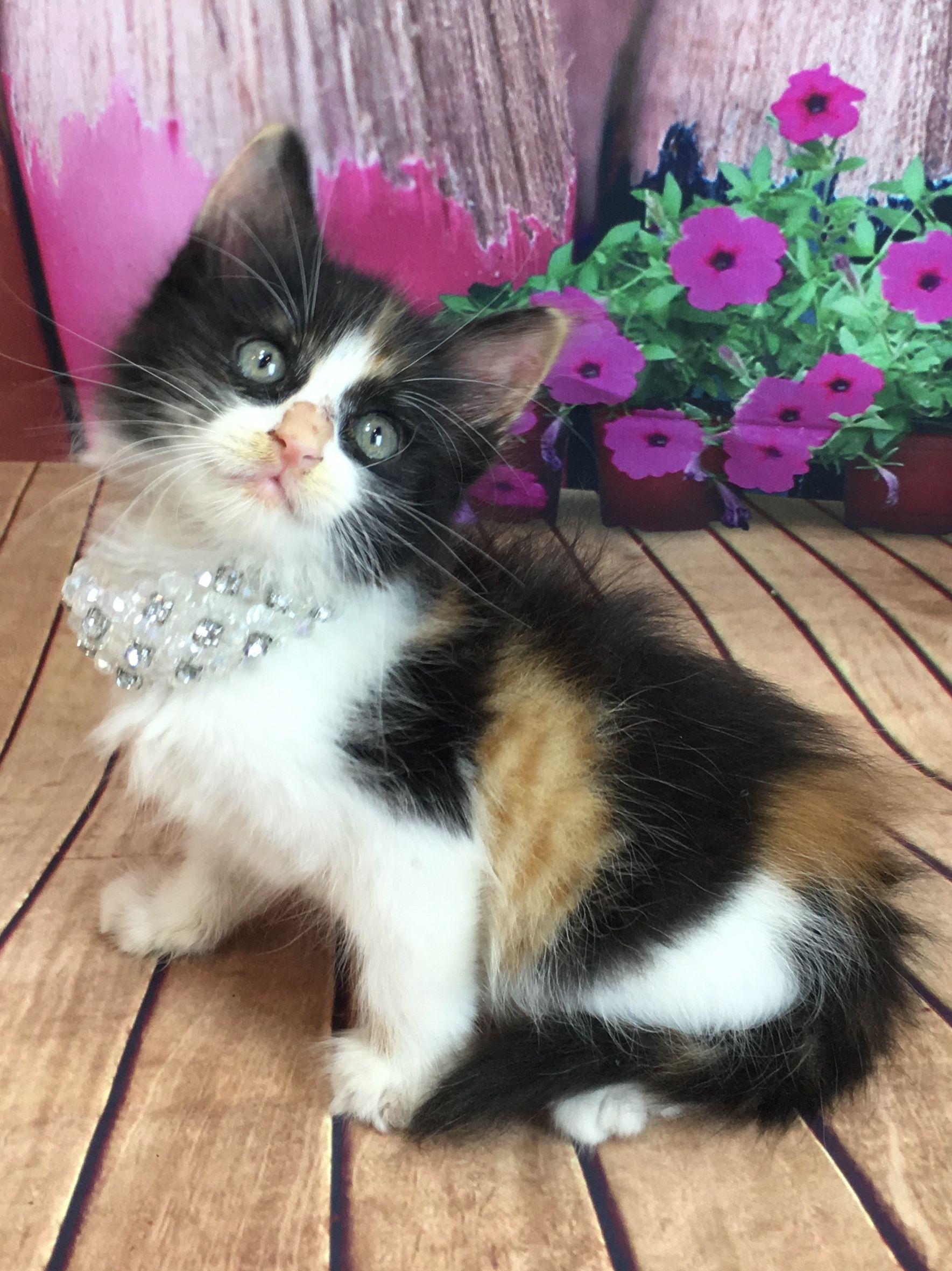 Adopt Kiki On Petfinder Critter Pets Cats
