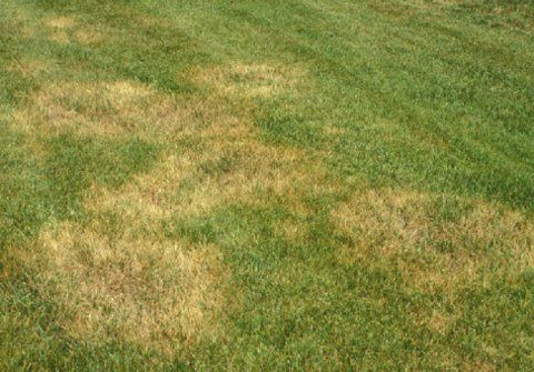 10 12 11 Brown Patch Vs Chinch Bugs And Frost Vs Freeze Lawn Treatment Lawn Care St Augustine Grass