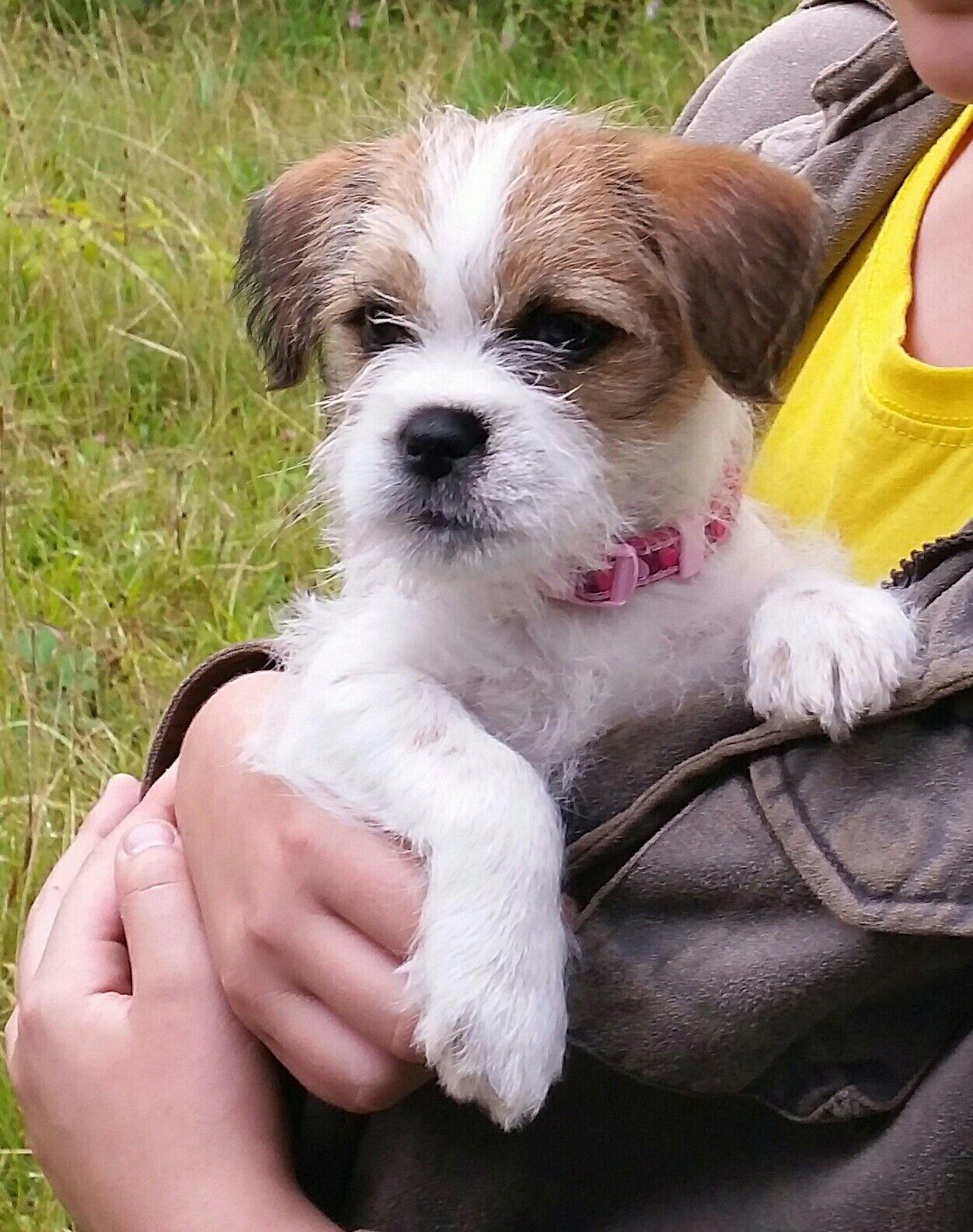 Shih Tzu Cross Border Terrier Jack Russell Puppy Shih Tzu Jack