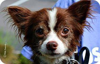 Tampa Fl Chihuahua Meet William Lp Kw A Dog For Adoption Pets Dog Adoption Kitten Adoption