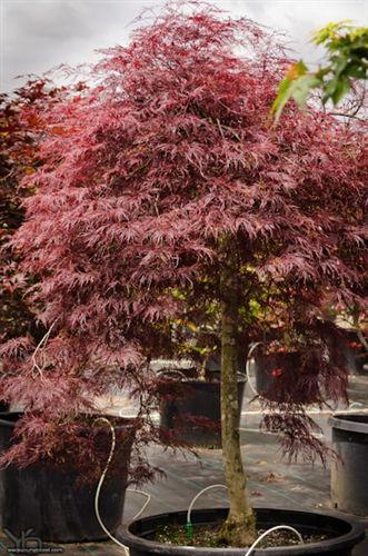 Acer Palmatum Red Filigree Lace Japanese Maple Japanese Maples