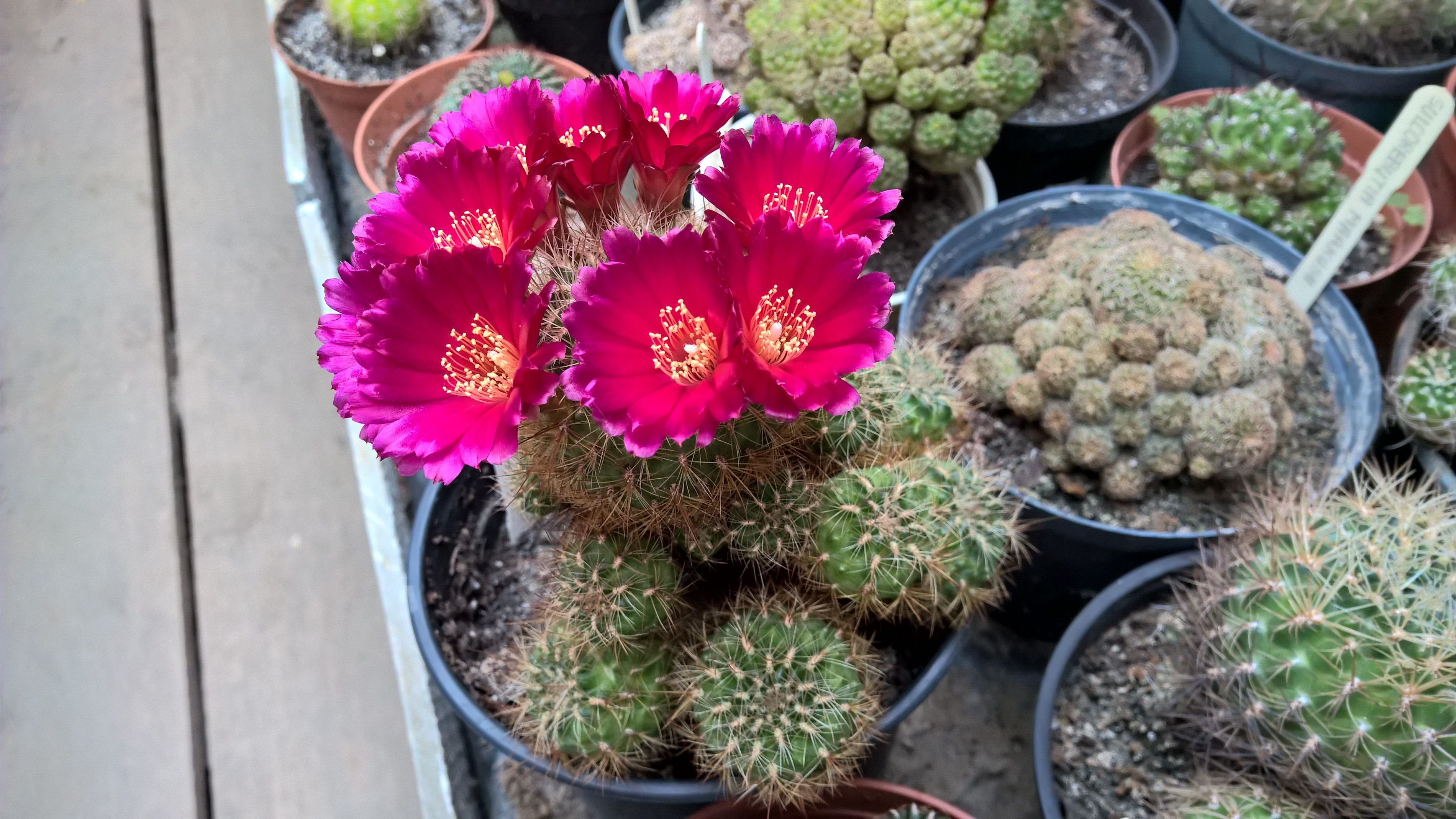 Semis de Sulcorebutia (cactus) 988dfc27460039bfad17bc10805e50ed