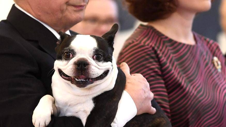 Lennu, the first dog of Finland. Lennu is a Boston terrier owned by President of Finland, Sauli Niinistö and his wife Jenni Haukio