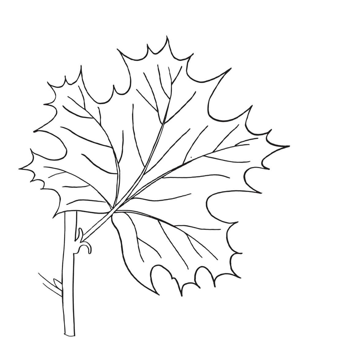 Parts Of A Maple Leaf