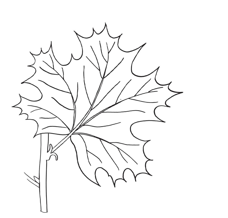 Free Parts Of A Leaf Printables Worksheets Coloring