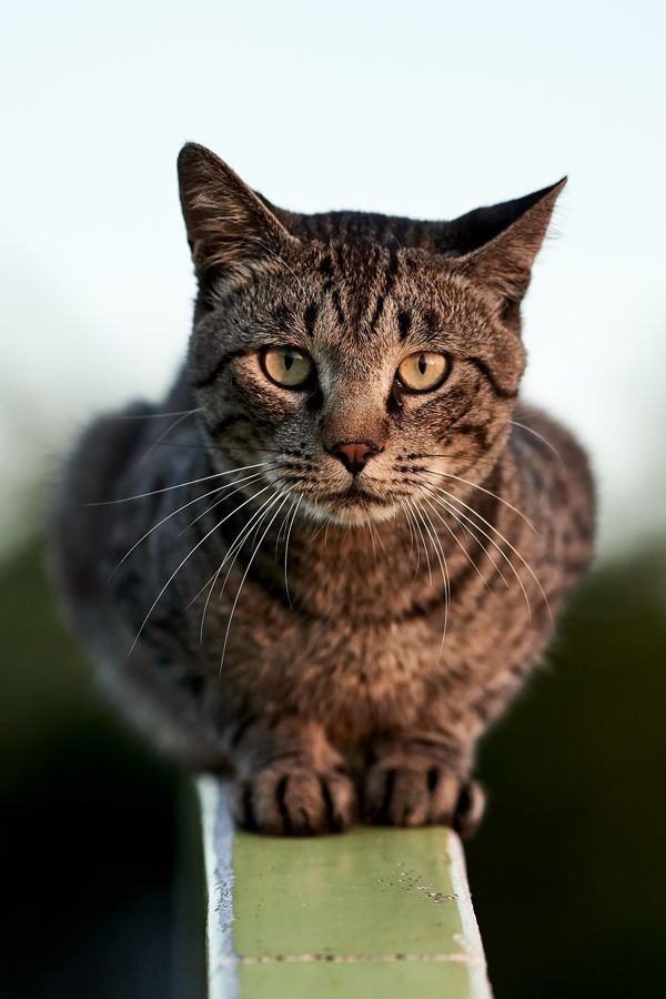 American Bobtail cat Facts   Cat facts, American bobtail ...