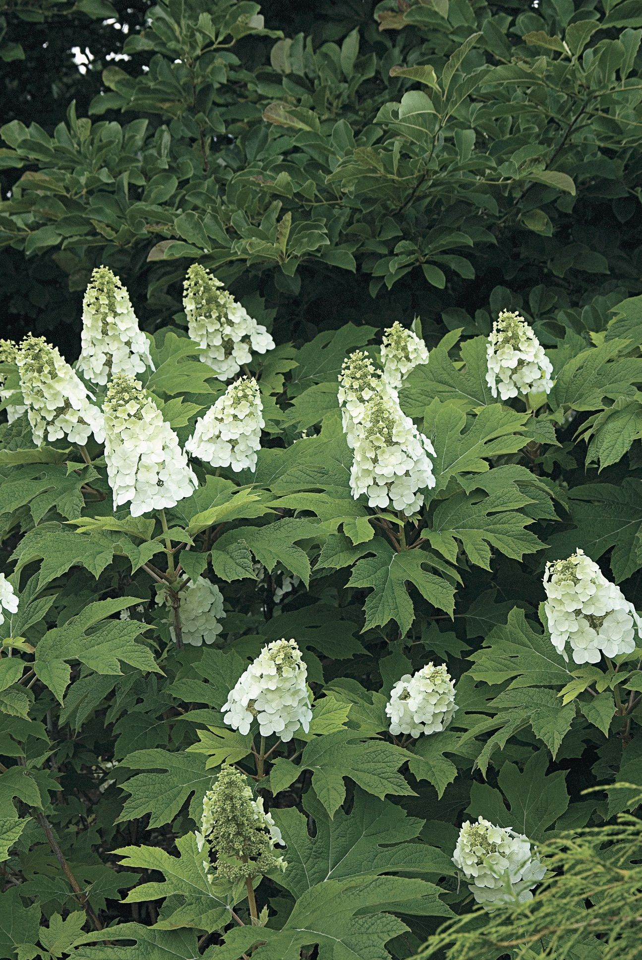A Master Class In Pruning Hydrangeas From White Flower Farm White