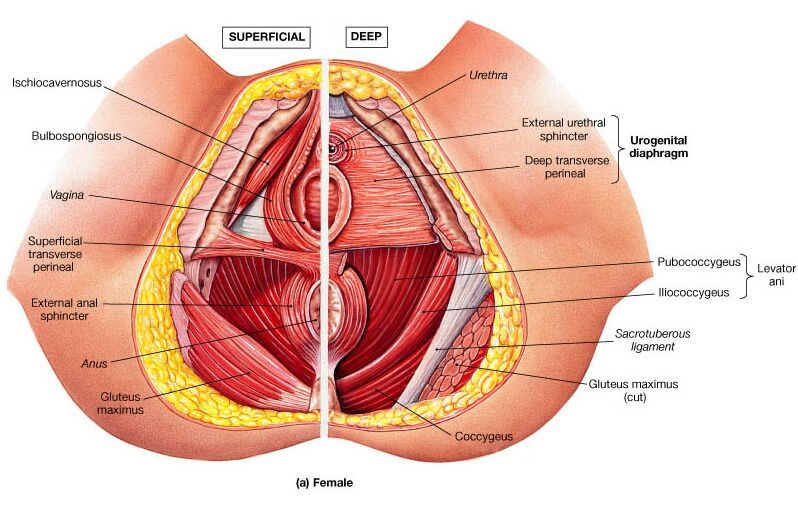 Female Pelvis Anatomy Superficial View And Deep View Medical