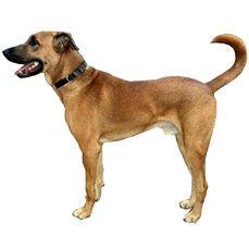 Kombai Group Of Dogs Dogs Dog Breeds
