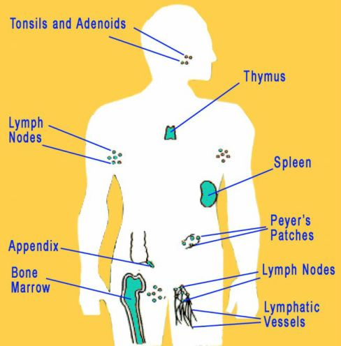 Human Immune System Diagram Works The Immune System Protects