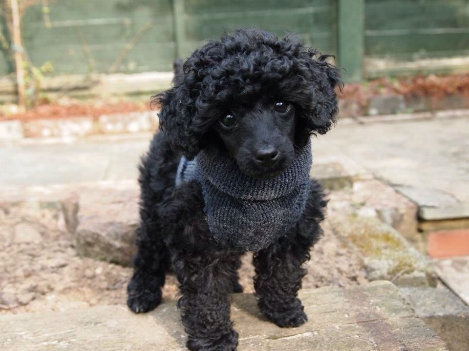 Poodles Smart Active And Proud Toy Poodle Toy Poodle Black