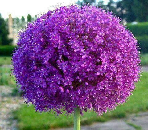 Beautiful Purple Ball flower