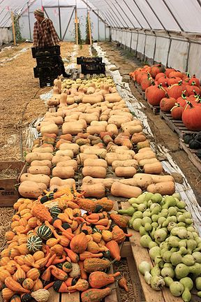 Harvesting, storing, and curing winter squash. I am mildly intimidated by the amount of squash growing in my yard. I might be giving some away in the fall. :)
