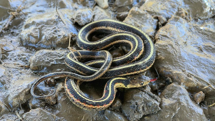The Harmless Garter Snake Is Your Garden S Best Friend With