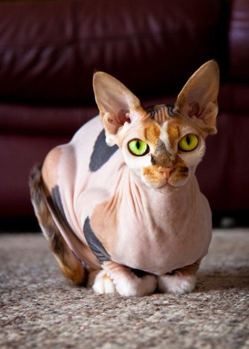 Green-eyed, calico sphynx cat