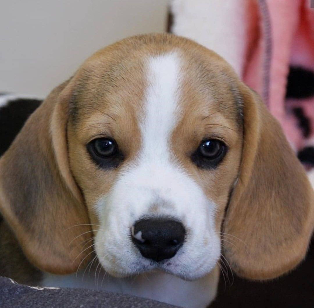 Cuteness Overload Beagle Puppy With Images Hypoallergenic