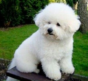 Pin By Anna Sabeth On Mirian Iveth Santamaria Bichon Frise Puppy