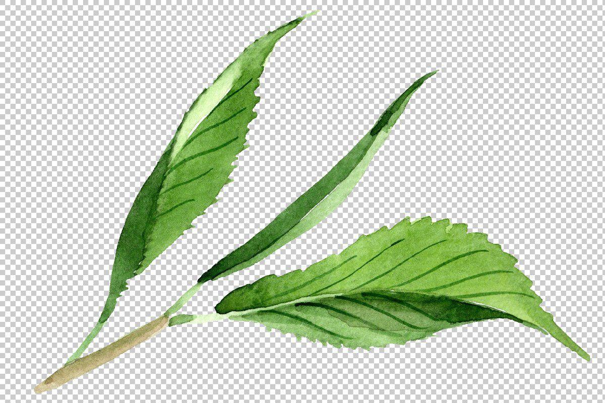Tea Leaf Png Watercolor Set Tea Leaves Illustration Leaf Illustration Plant Leaves