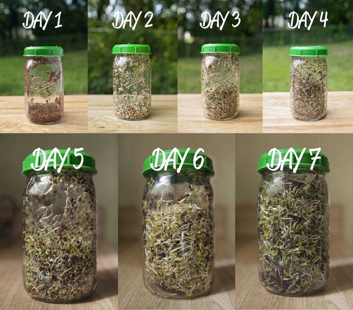 Grow Broccoli Sprouts! Broccoli sprouts, Broccoli