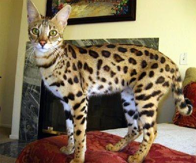 F1 Savannah Kitten For Sale Savannah Kitten Savannah Kittens