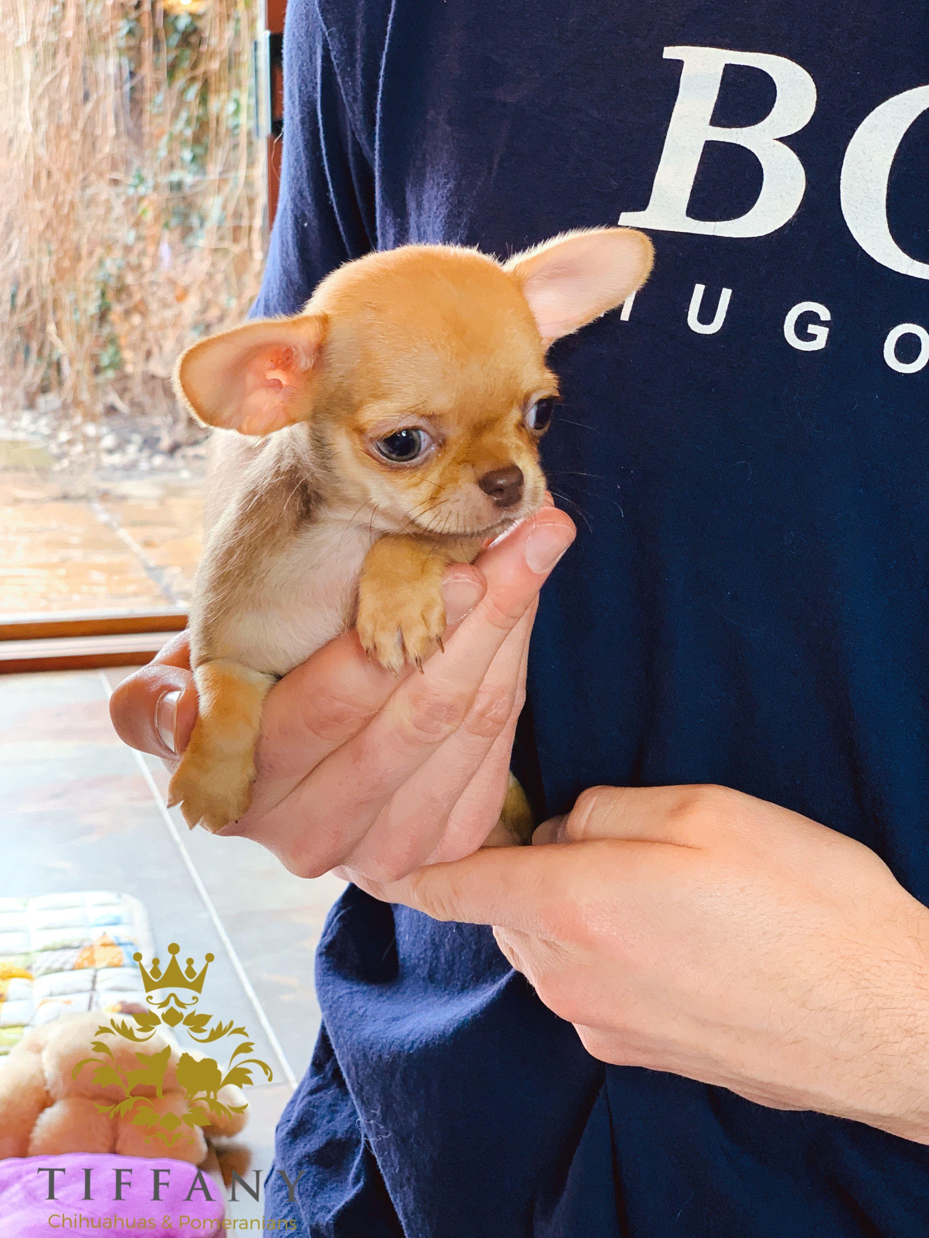 Chihuahua Puppy Chihuahua Puppies Chihuahua Cute Baby Animals