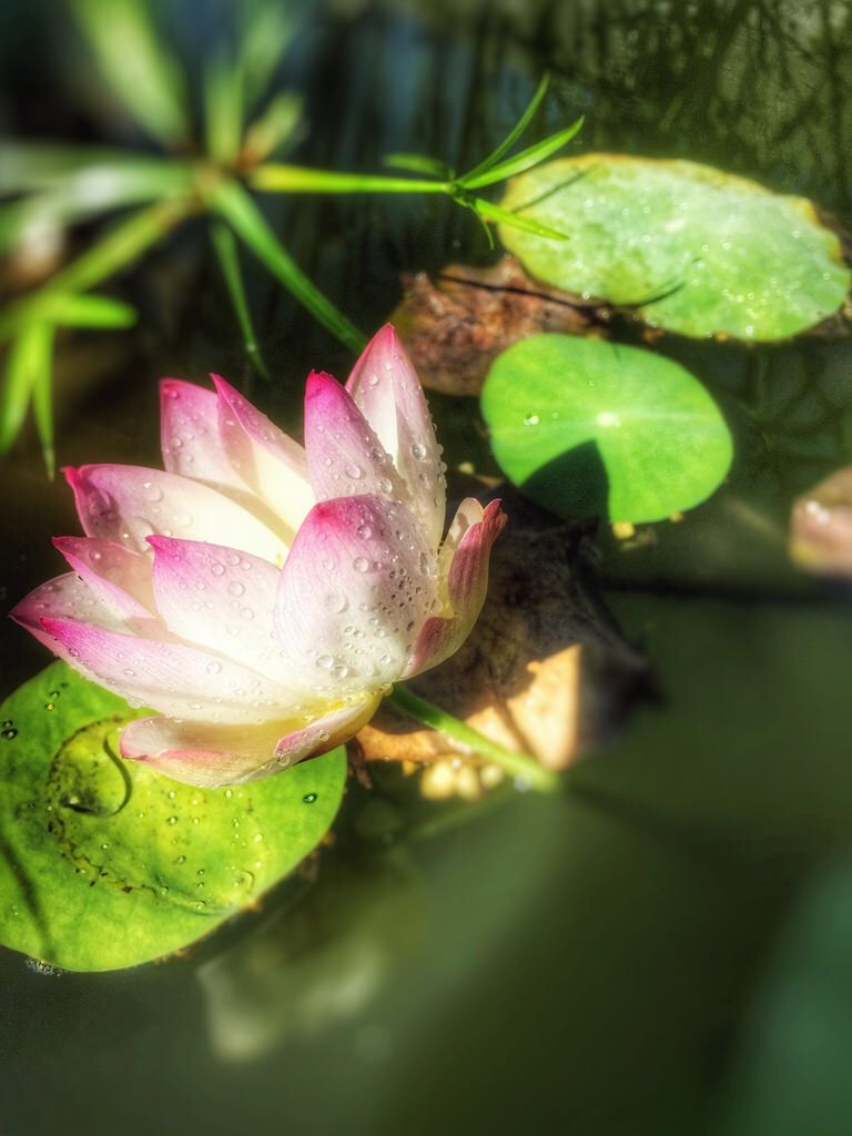 lotus speciosa flower blossom water garden fort worth texas pink