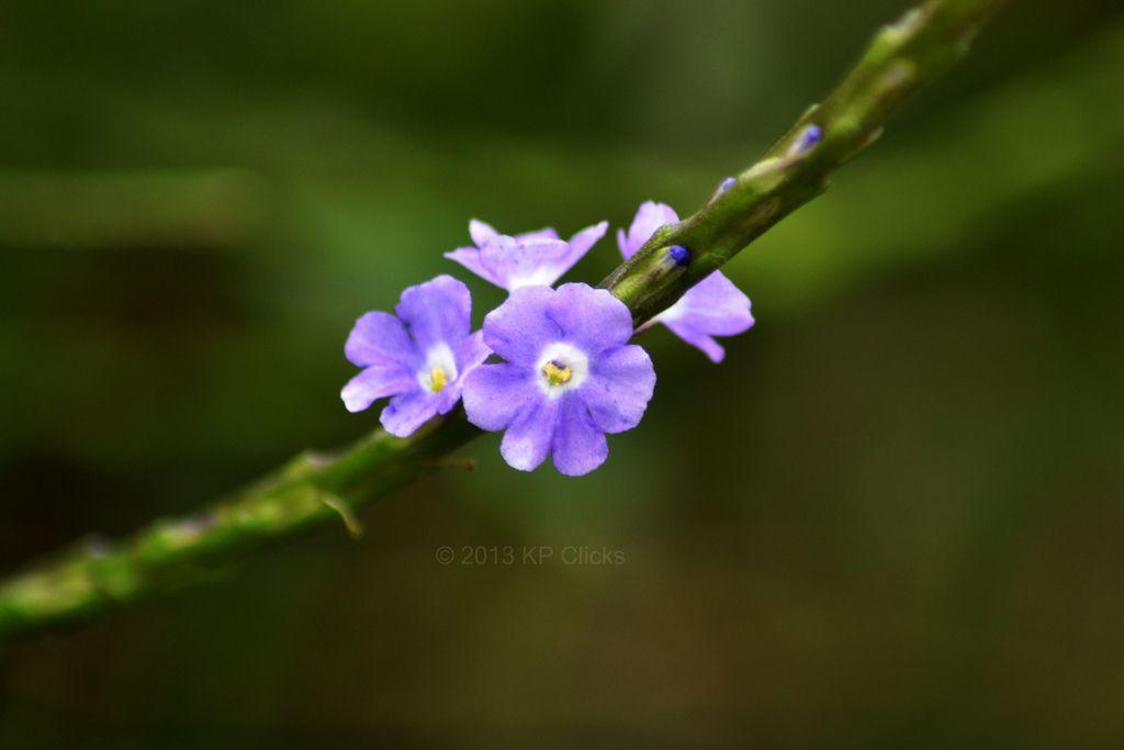 Jamaican Blue Spike Flower Photos Tropical Flowers Jamaicans