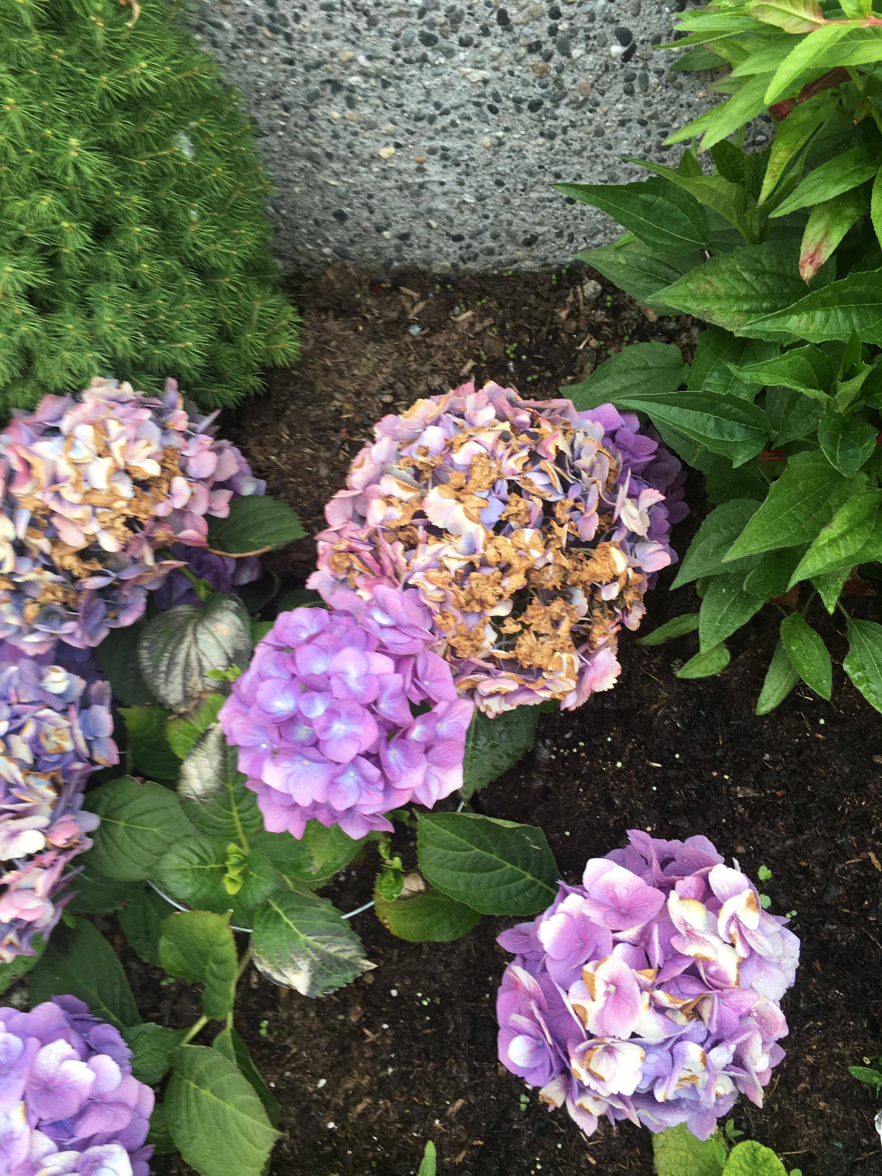 Why Are My Hydrangeas Turning Brown Gardening Garden Diy Home Flowers Roses Nature Landscaping Horticulture Hydrangea Care Hydrangea Brown Flowers