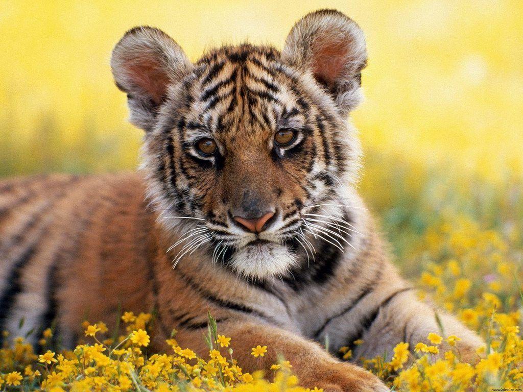 Tigers Free Photos Wallpaper Wild Life Predators Animals