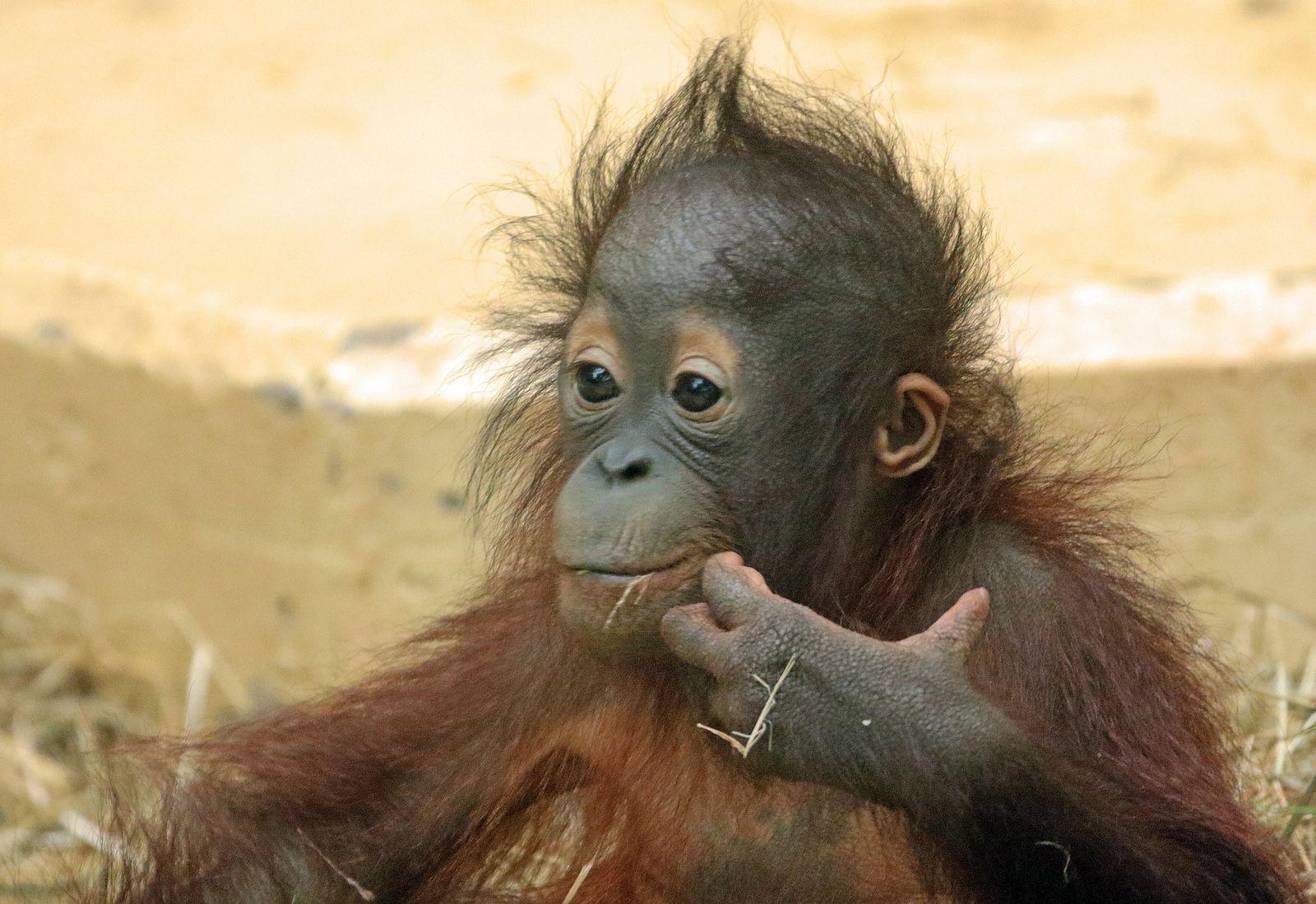 Sumatran Orangutan Sabbar Ouwehands Bb2a2810 Baby Orangutan Orangutan Sumatran Orangutan