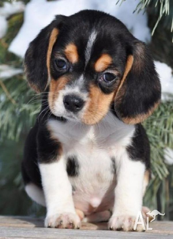 Beagle Puppies For Sale Nsw Zoe Fans Blog Cute Animals Cute