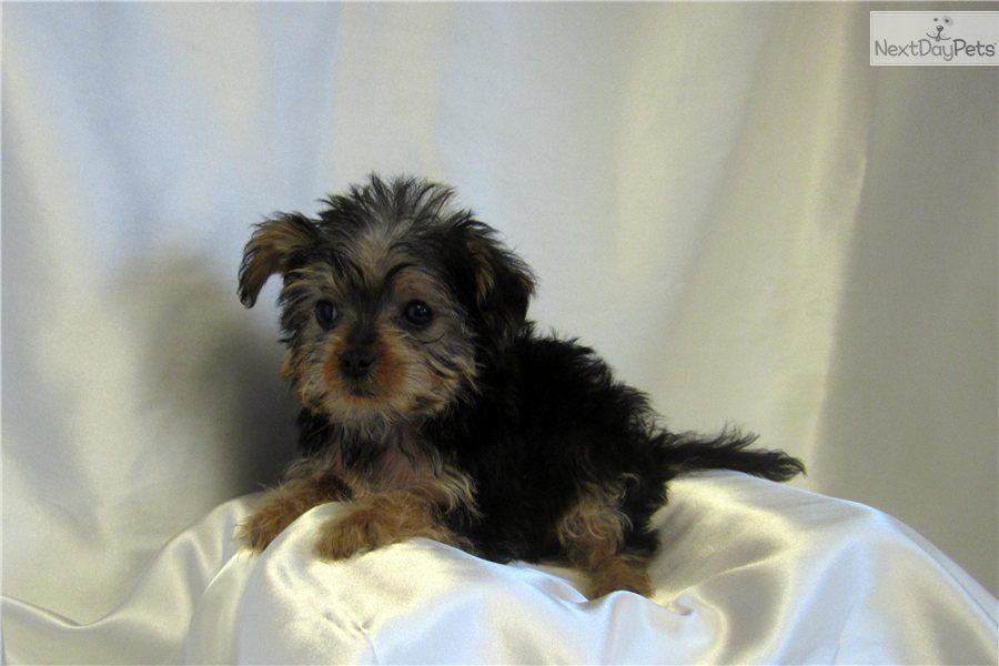 Tiny Jamie Yorkie Poo Yorkie Poo Puppies Dog Thoughts
