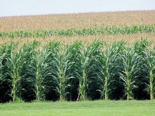 growth stages of corn