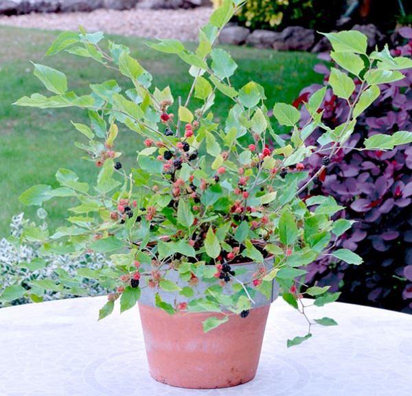 los mejores frutos rojos para cultivo en maceta | jardinería