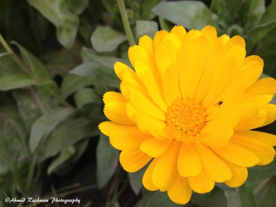 Beetle on Sunflower for lunch