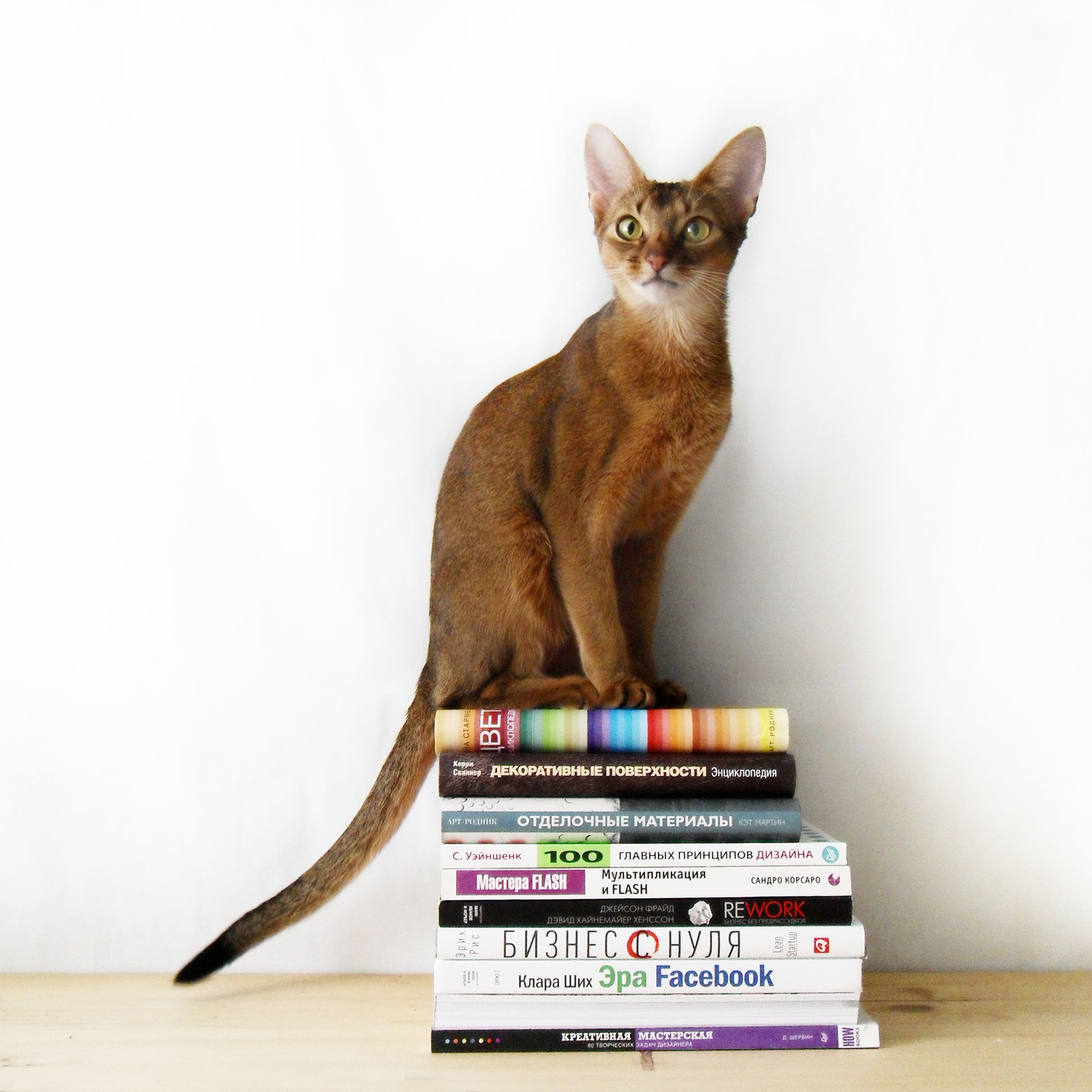 Cat Sitting On The Books Chat Abyssin Abyssin Chat
