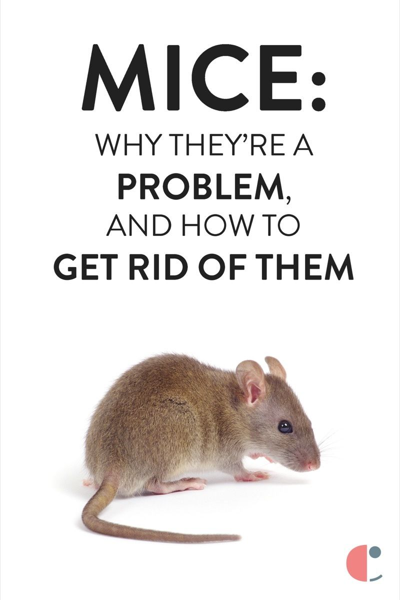 How to Get Rid of Mice | Getting rid of mice, How to get ...