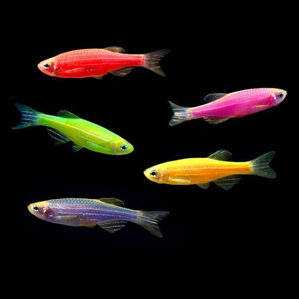 glofish (avec images) | Joli poisson, Animaux, Poisson